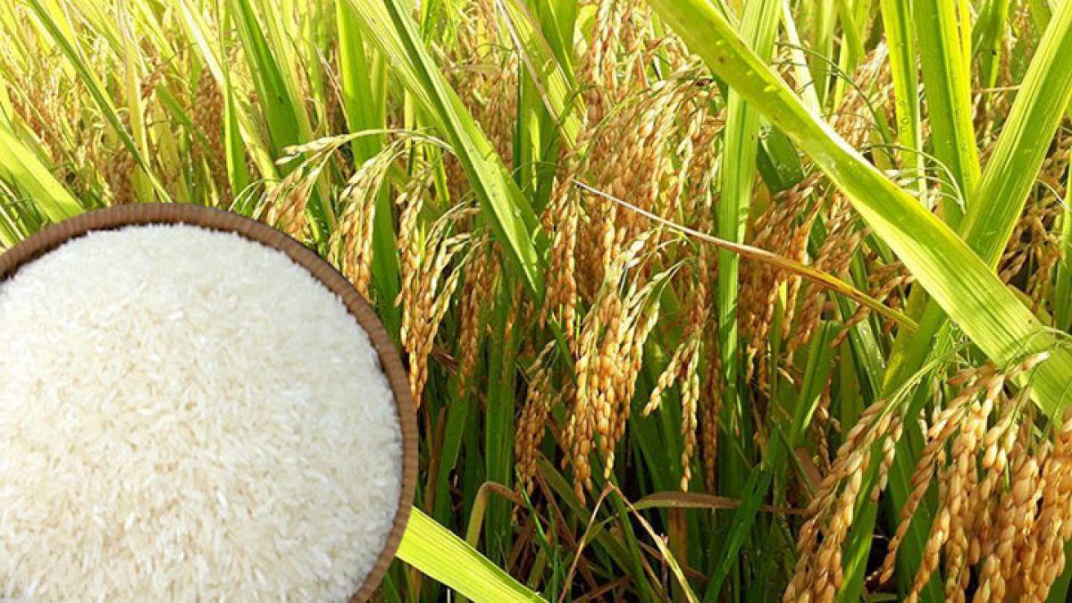 Giá lúa gạo hôm nay 7/6: Giá gạo nguyên liệu giảm mạnh 800 đồng